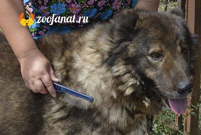 Причесываем Кавказскую овчарку расческой с редкими зубчиками