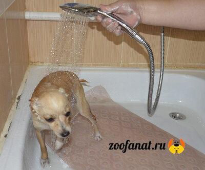 Моем Той терьера под душем