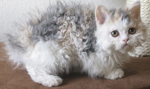 Пушистый котенок с необычной структурой волоса
