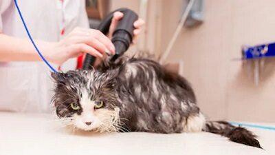 Сушим кошку феном