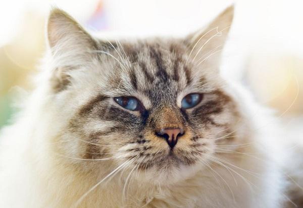 Строгий, но очень красивый кот