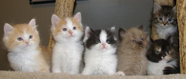 Замечательные котята породы Рагамаффин