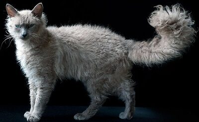 Кот породы Лаперм
