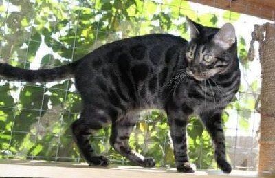 Черная или угольная Бенгальская кошка