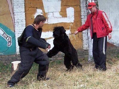 Травля собаки с дрессировщиком