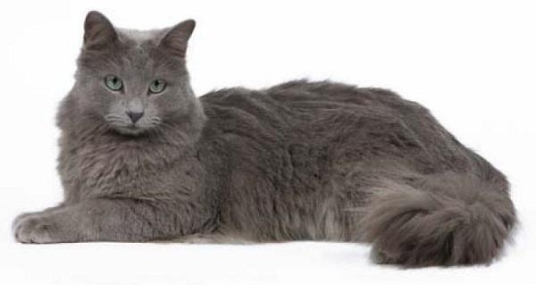 Кошка с удивительной красоты шерстью