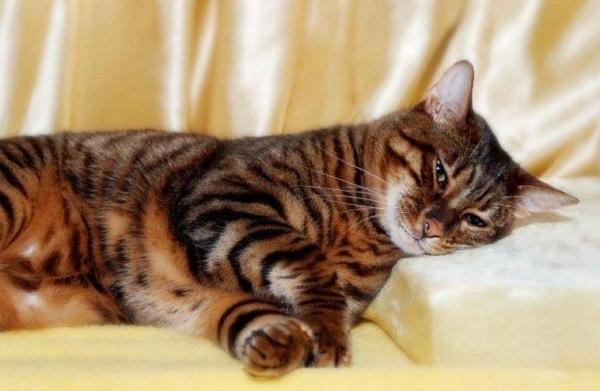 Да, это тигр, только маленький