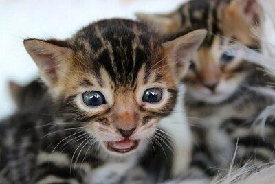 Котята Бенгальской кошки