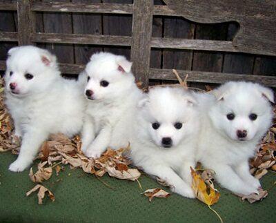 Очаровательные щенки Эске