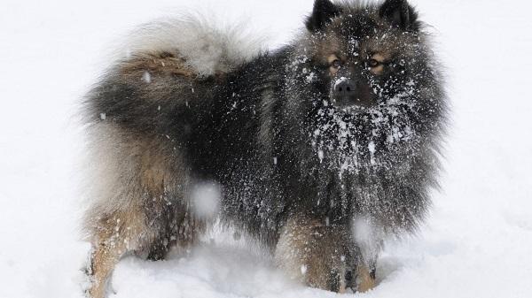 Кеесхонд очень любит зиму и снег
