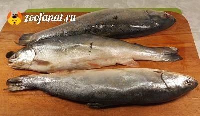 Морская рыба Голец свежий