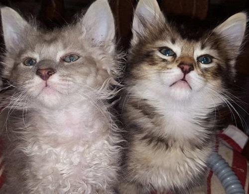 Красивые котята Лаперм