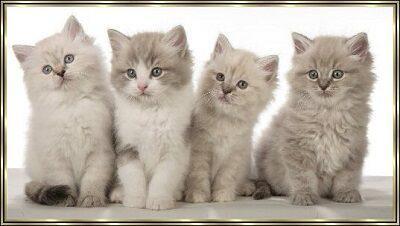 Породистые красавчики котята