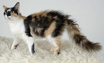 Трехцветная породистая кошка