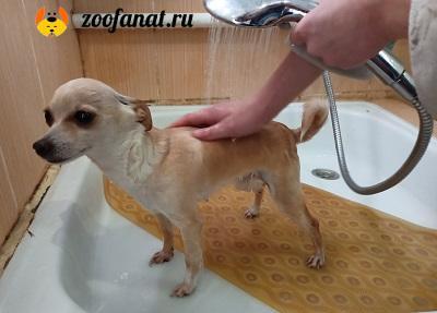 Если собака приучена к ванне, то никаких проблем с купанием нет