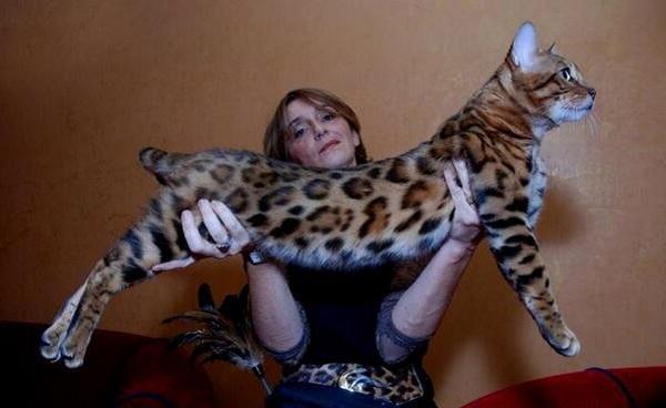 Оцените размеры и стати кота