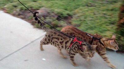 Бенгальская кошка прекрасно ходит на поводке
