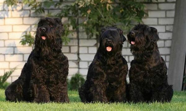 Черные терьеры как правило мирно относятся к другим собакам