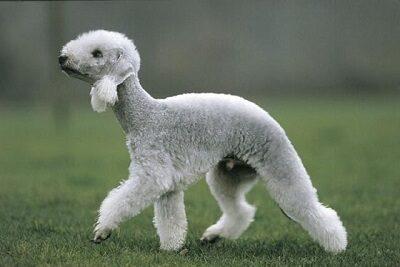 Бедлингтон терьер похож на овечку