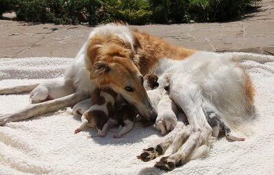 Долгожданный помет щенков