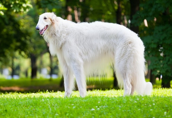 Белый окрас шерсти