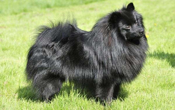 Черный цвет шерсти