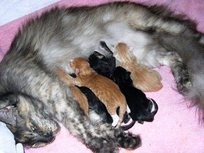 Кошка Мейн кун кормит котят
