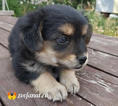 Двухмесячный щенок