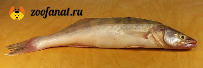 Речная рыба под запретом
