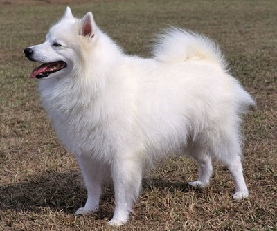 Американская эскимосская собака