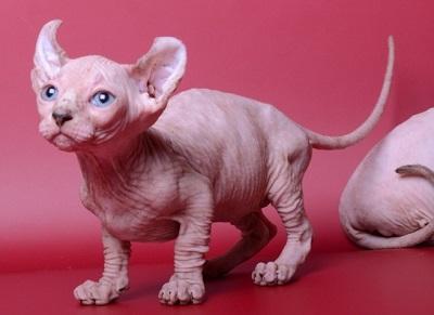 Порода кошек Эльф