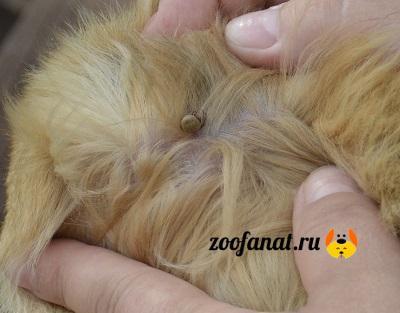 Иксодовый клещ на теле собаки