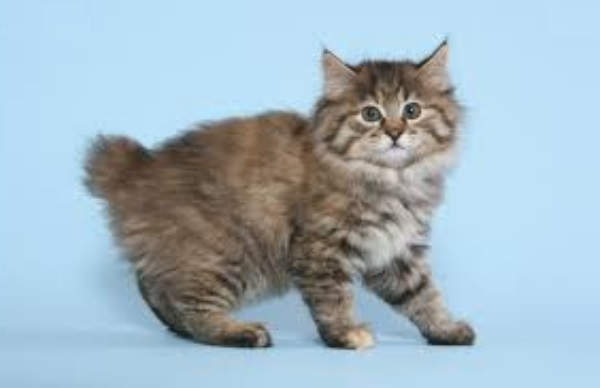Породистый котенок