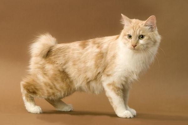 Порода кошек Курильский бобтейл короткошерстный и длинношерстный, бесхвостый и с длинным хвостом