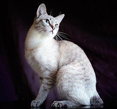 Порода кошек Меконгский бобтейл - описание окрасов и характера, достоинства и недостатки