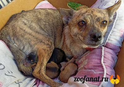 Собака Машка со своими новорожденными щенками