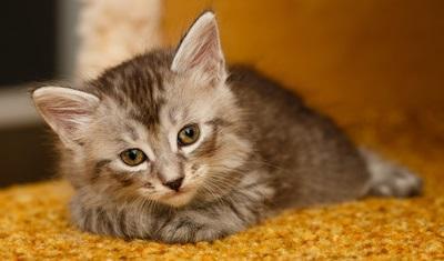 Двухмесячный котенок